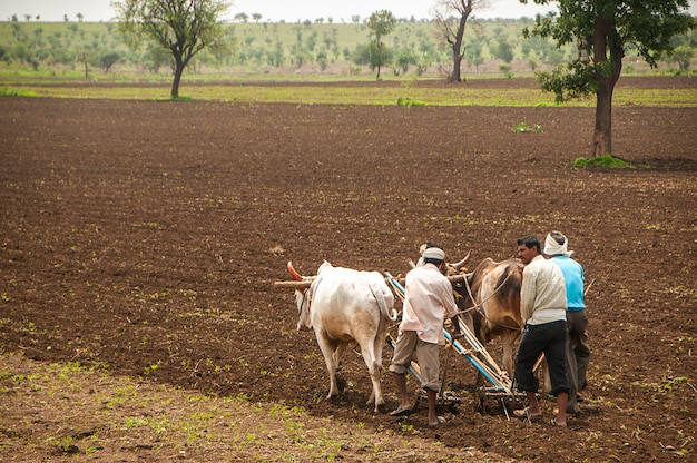農民と労働者は、雄牛の助けを借りて、伝統的な方法で農地を耕し、播種しています