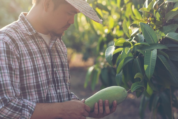 Farmers are checking mango quality