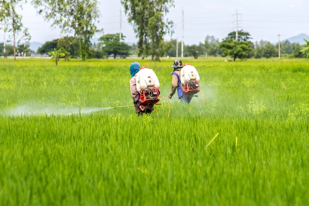 The farmers are crop spraying in the green rice fields