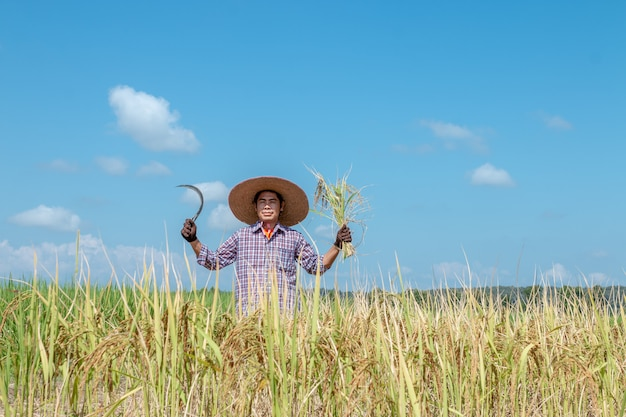 Farmers are harvesting crops in rice fields. bright sky day