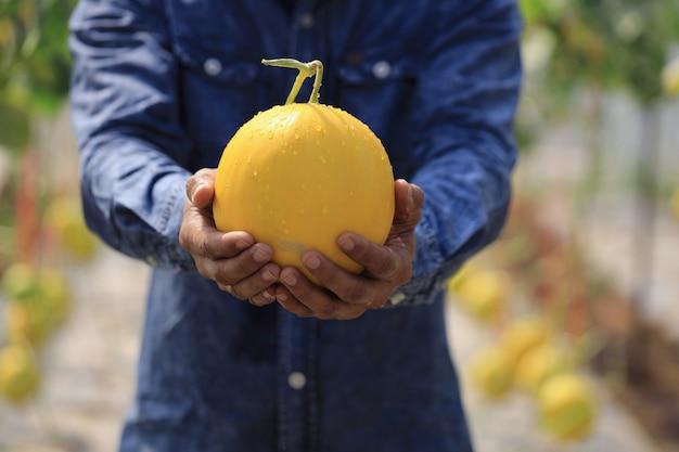 農家は温室と非化学殺虫剤でメロンを収穫しています。顧客に届ける