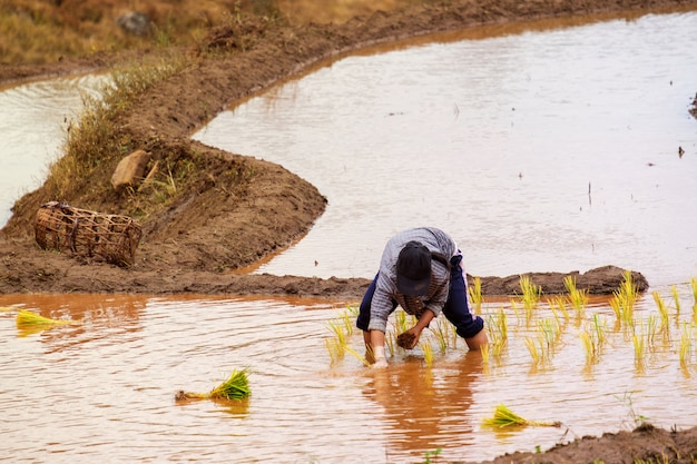 Farmers are planting rice in the farm with copy space, working in mountains