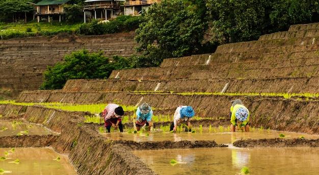 農家は畑で米を植えている