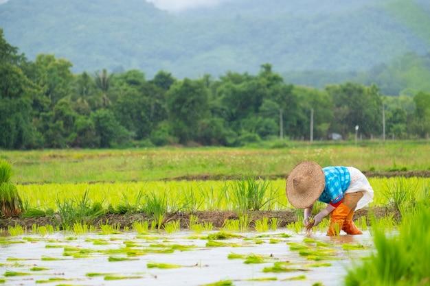 Фермеры сажают рис на ферме. фермеры наклоняются, чтобы выращивать рис. сельское хозяйство в азии. выращивание с использованием людей.