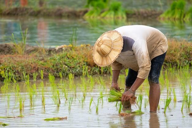 Фермеры сажают рис на ферме. фермеры стараются выращивать рис. сельское хозяйство в азии.