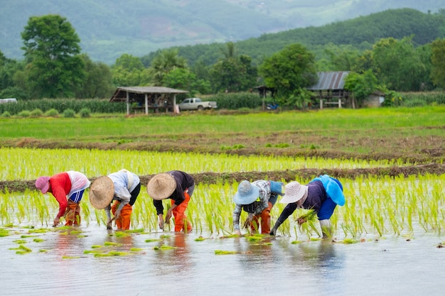 農民たちは農場に稲を植えています。農民は稲を育てるために曲がります。アジアの農業。