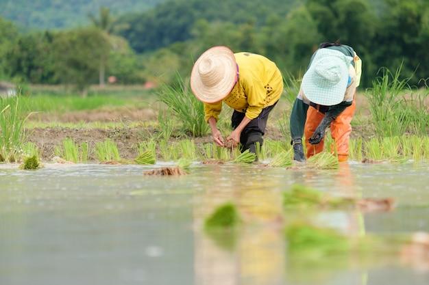 Фермеры сажают рис на ферме. фермеры наклоняются, чтобы выращивать рис.