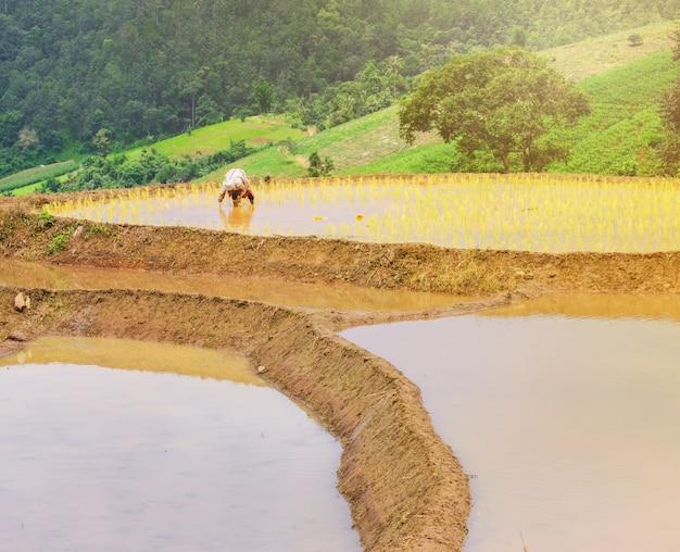 農家は農場で米を植えている