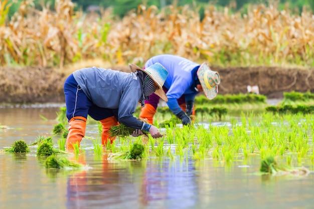 농부들이 논에 벼를 심고 있습니다.
