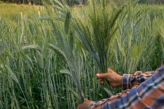 Фермеры разделяют семена. ячменя