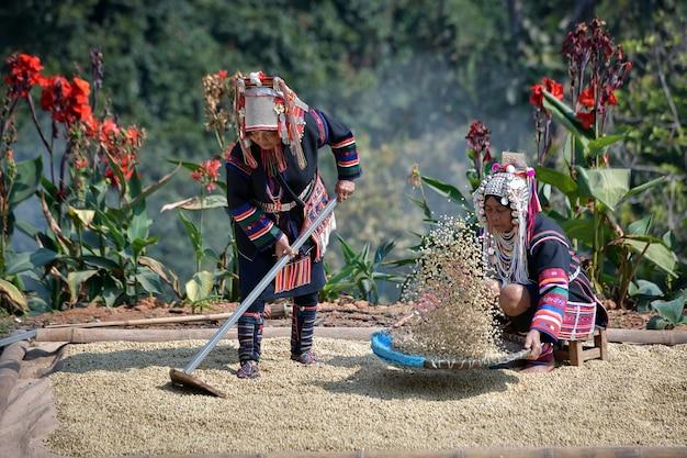 農家はアラビカコーヒー豆を選別し、太陽の下で乾かすために取り出しています。これは農業の概念です。
