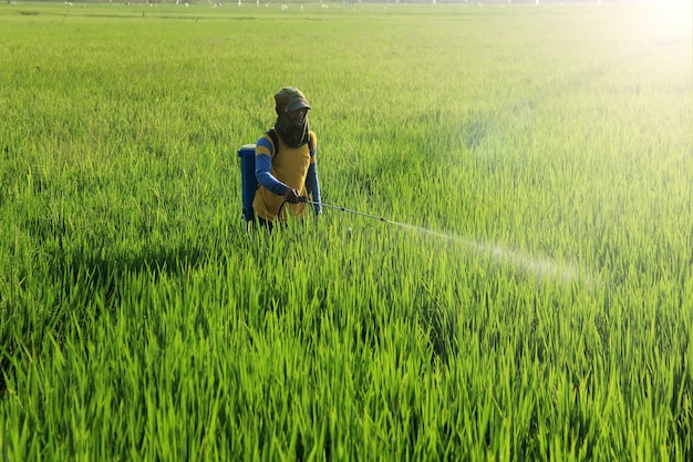 Farmers are spraying pesticide liquid to kill rice pests
