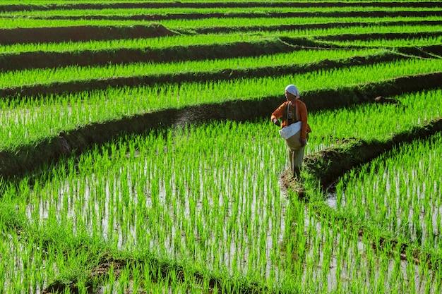 농부들은 아침에 논에서 일하고 있습니다.