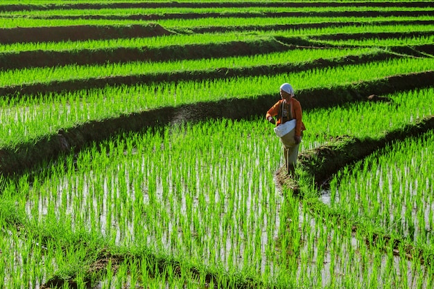 Farmers are working in the morning in the rice fields