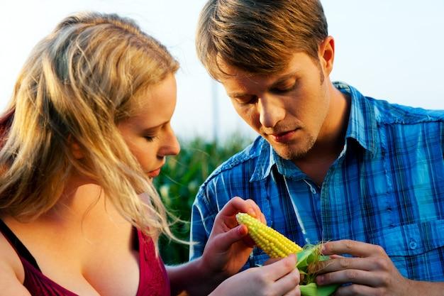 Farmers checking corn for harvest