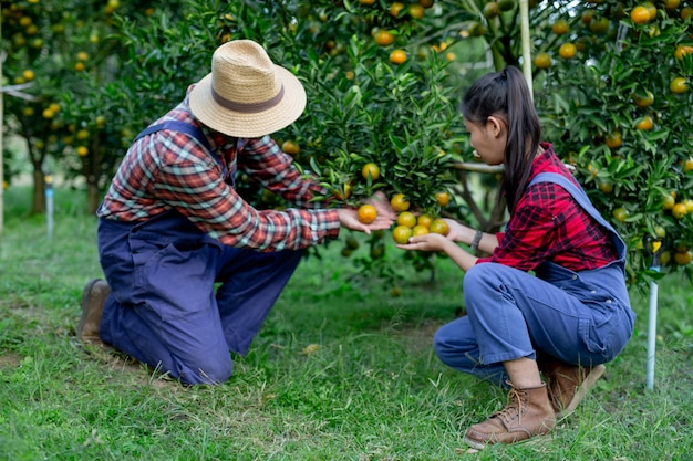 Farmers collecting oranges together