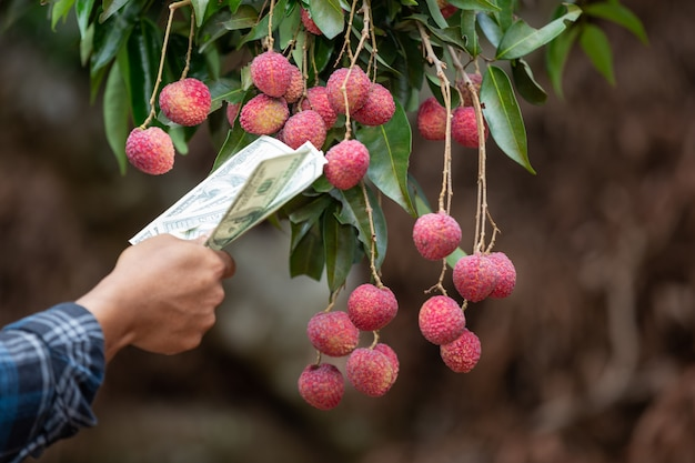 Farmers count the cards for the sale of lychees.