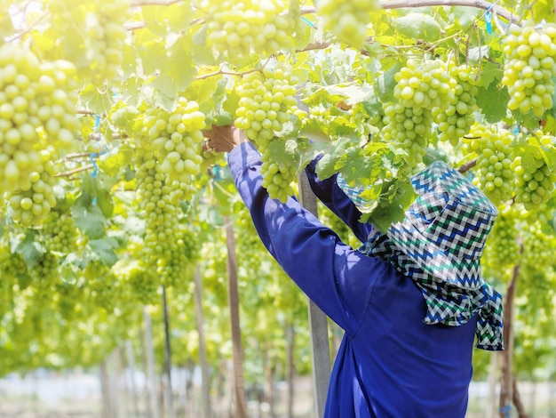 収穫時に白ブドウを切る農家