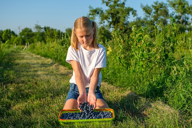 Farmers daughter picks blueberries from and pours them into a basket on farm