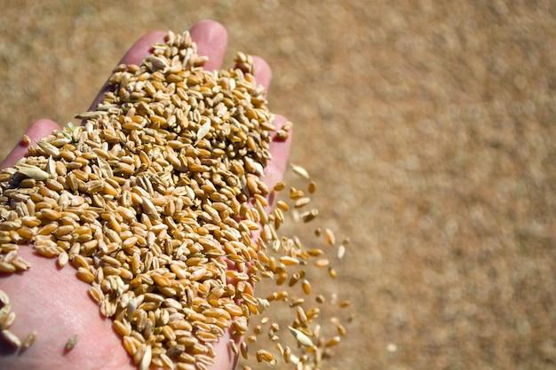 Рука фермера держит пшеничное зерно показывает урожай