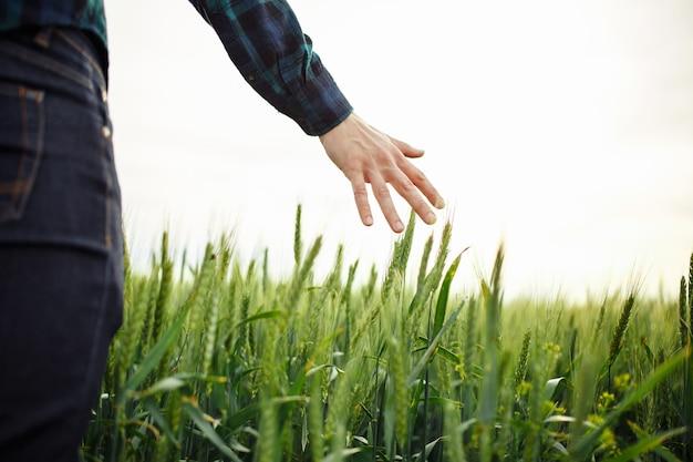 Рука фермеров трогает зеленые колосья пшеницы