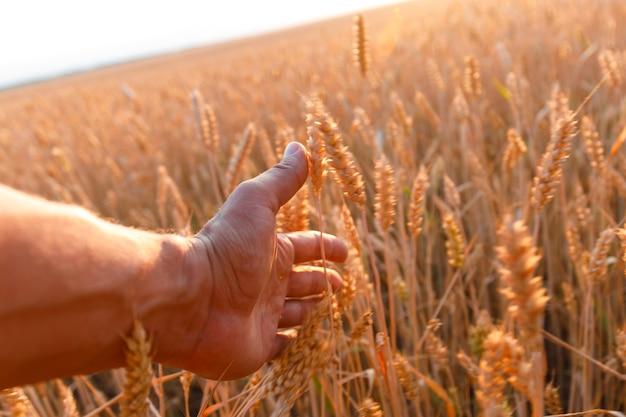 Рука фермера касается колоса пшеницы на закате. агроном осматривает поле спелой пшеницы. фермер на пшеничном поле на закате.