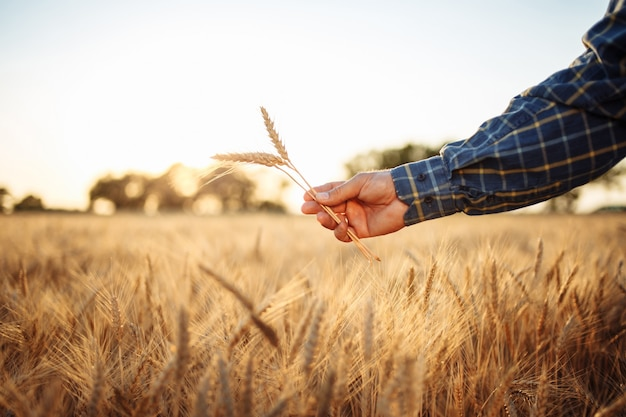 Farmers hand with the golden spikelets in it in the middle of the wheat field