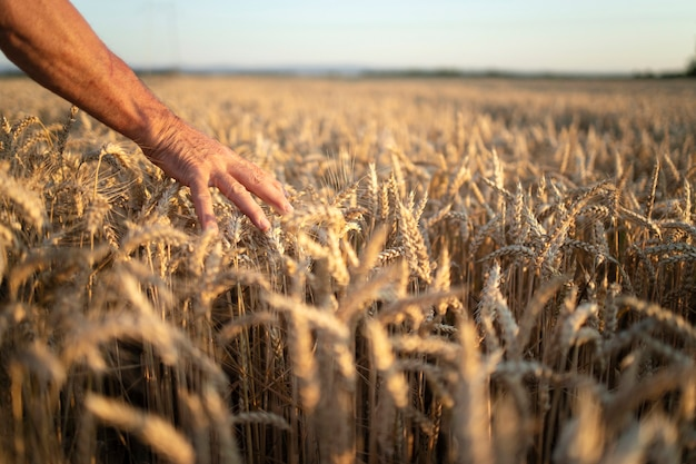 Farmers hands going through crops in wheat field in sunset