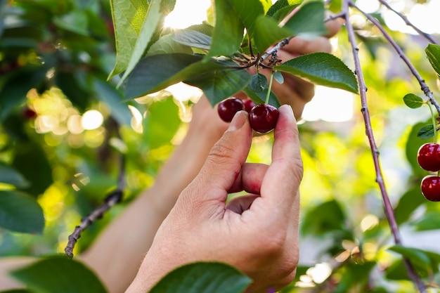 Фермеры руки собирают вишню с дерева в саду