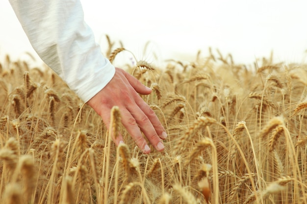 Farmers hands touching spikelets closeup on the background of a wheat field