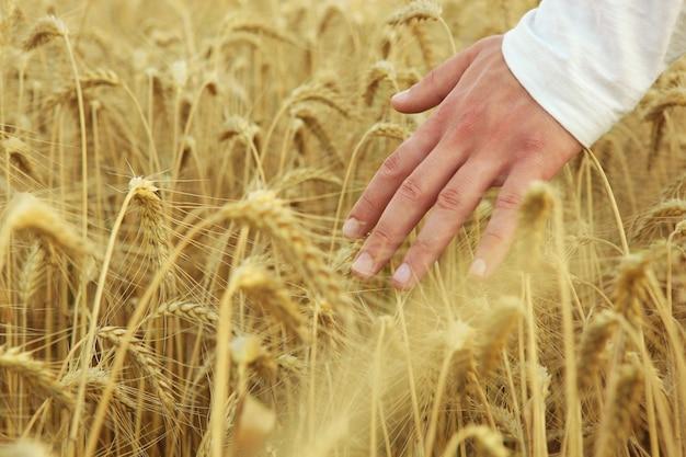 Руки фермеров трогательно колоски крупным планом на фоне пшеничного поля
