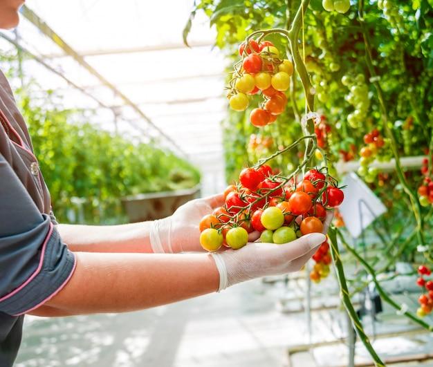 Руки фермеров со свежесобранными помидорами. женщина руки, держа помидоры. теплица.