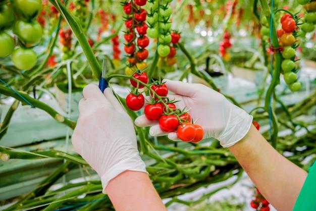 Руки фермеров со свежесобранными помидорами. женщина руки, держа помидоры.