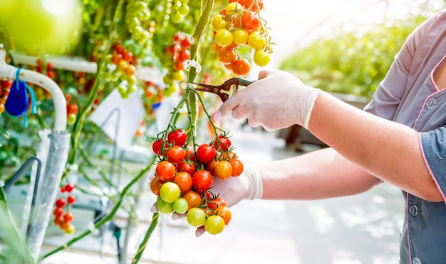 Farmers hands with freshly harvested tomatoes. woman hands holding tomatoes.