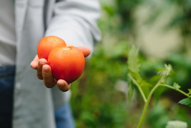 収穫したてのトマトと農家の手