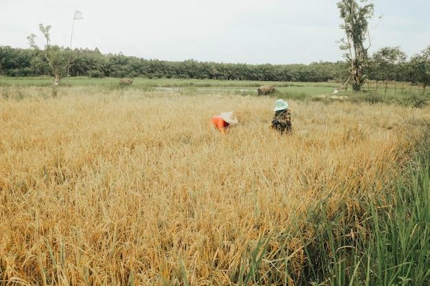 Farmers harvest rice fields.