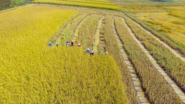 Farmers harvesting rice in farmland