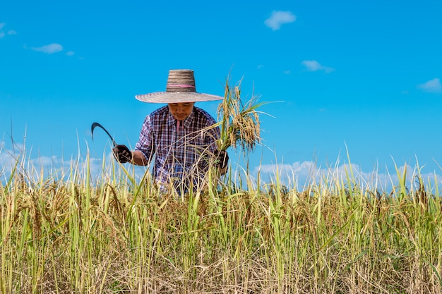 Farmers harvesting rice in the fields on bright blue sky
