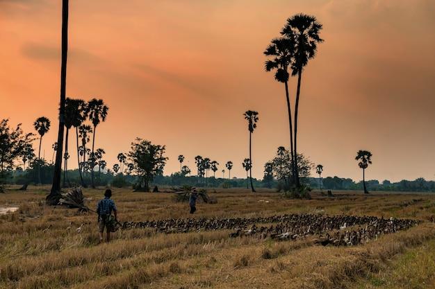 Фермеры пасут уток, чтобы поесть траву на фермерском лугу и поле сахарных пальм на закате, патум тани, тайский