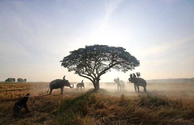 タイの農民。タイの田舎;夕日を背景にシルエットの象、スリンタイの象タイ。