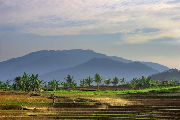 晴れた朝の農民たちは、美しい青い山々のある田んぼを歩いています。