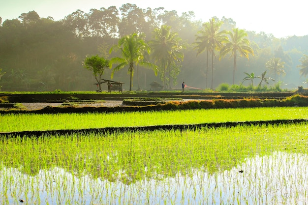 Farmers in the morning in the rice fields