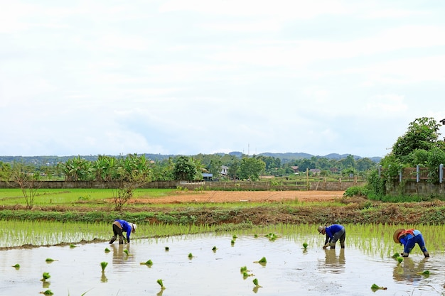 Farmers transplanting rice plants in the paddy field by hands, northern region of thailand