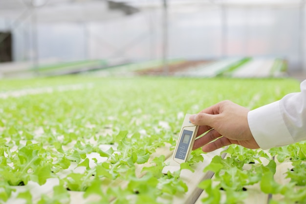 Farmers use thermometer to check quality of the water used for raising vegetables. strictly checking vegetables on the farm. businessman examine quality of organic vegetables on farm by thermometer.