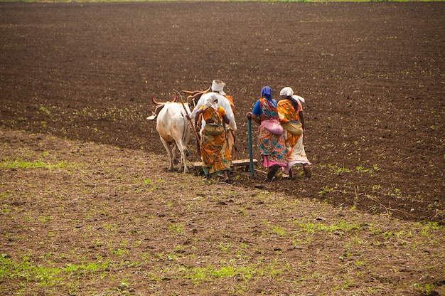 Farmers and workers are plowing and sowing agricultural field in the traditional way with help of bulls