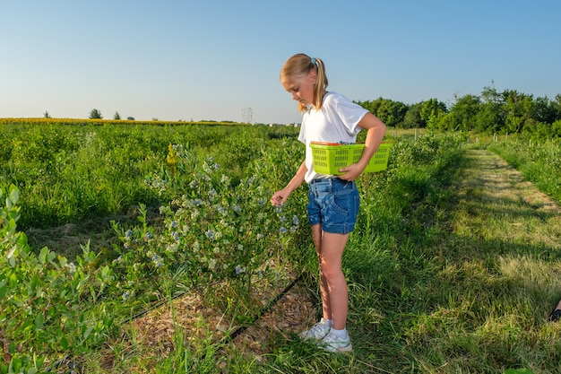 Farmers young daughter harvests blueberries from a bush on an organic farm