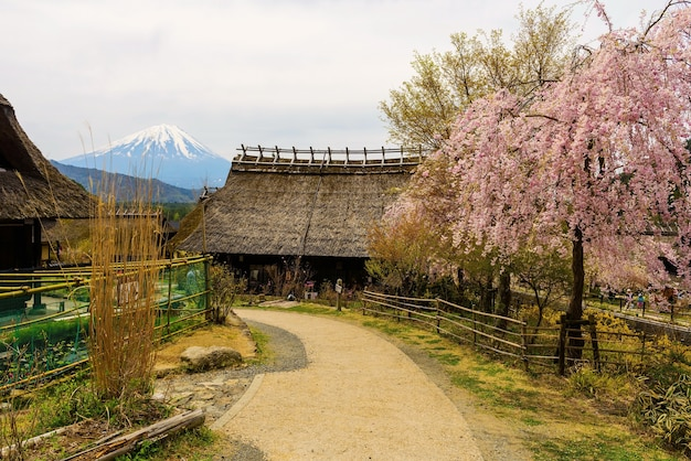 Farming thatch house with pink cherry blossom or sakura