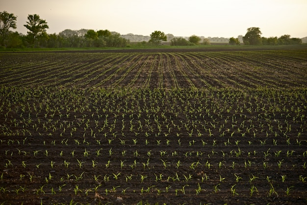 Farmland corn field