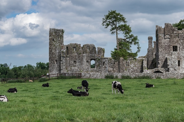 Farmland pature of cows in front of an anciet abbey in ireland
