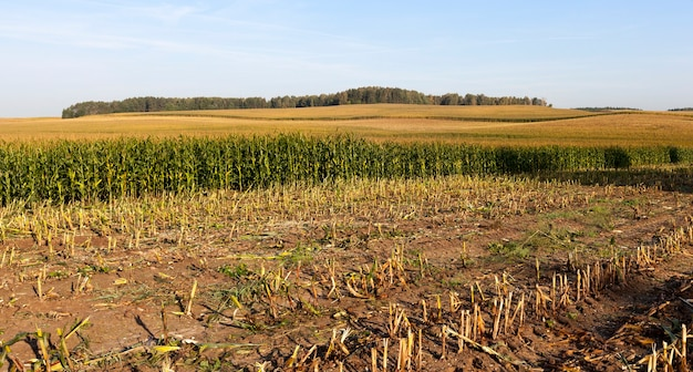 Farmland with a corn crop, which they began to harvest to produce silage for cattle